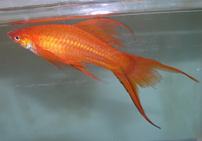 Ikan Pedang Double Tail