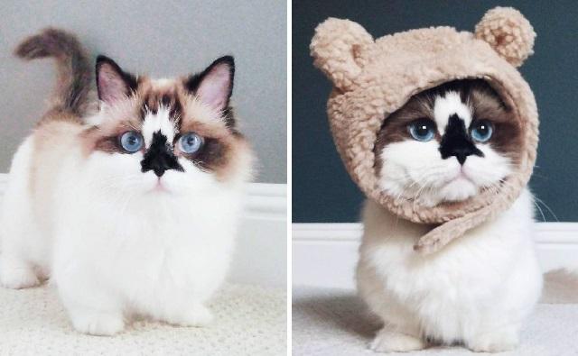 Merawat kucing munchkin
