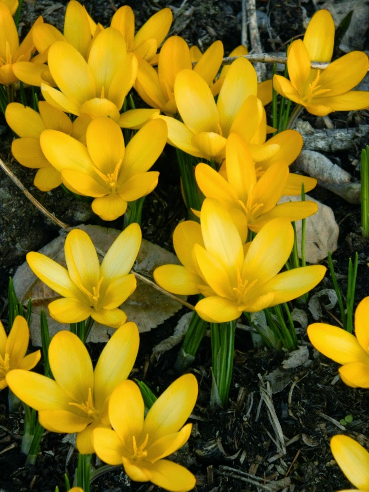 Golden Yellow Crocus x luteus at Toronto Botanical Garden by garden muses-not another Toronto gardening blog