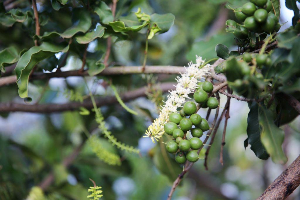 Hạt macca Úc – cách chọn hạt mắc ca Úc chất lượng nhất