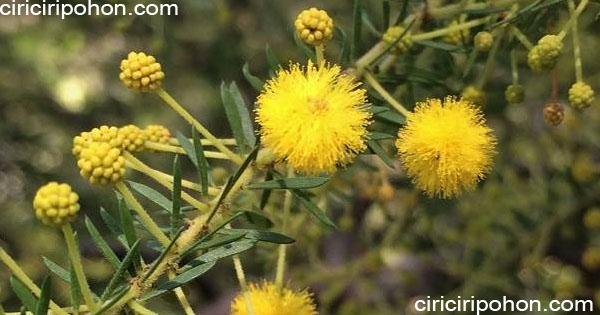 ciri ciri pohon akasia brown walattle