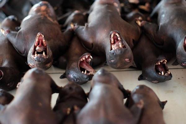 Researchers in Myanmar discover 6 new corona viruses on 3 bat species