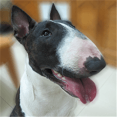 Putilla the Bull terrier