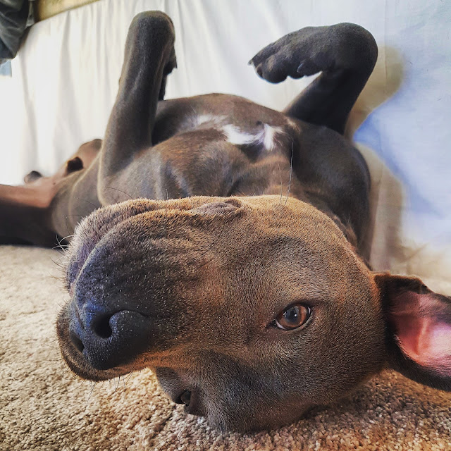 Pit Bull Without Leash Attacks And Kills Smaller Dog As Helpless Owner Watches
