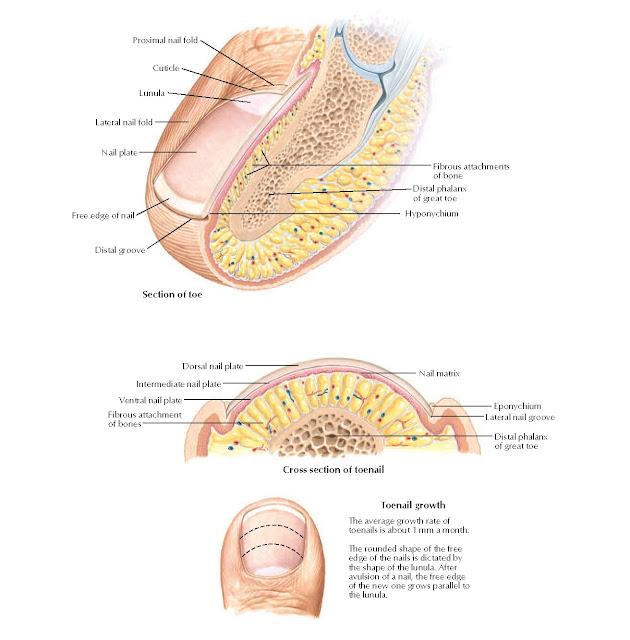 Anatomy of Toenail