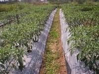 Gambar Penanaman cabe pada lahan terbuka dengan menggunakan mulsa plastik