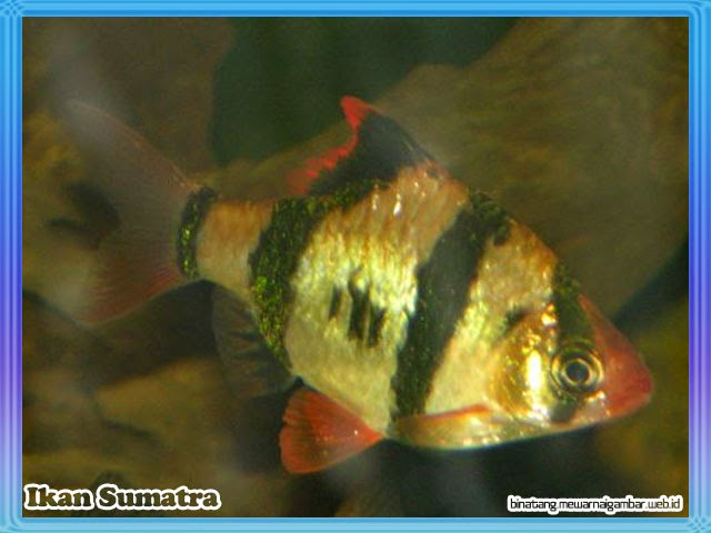 gambar ikan sumatra