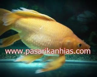 Ikan hias air tawar kumpai