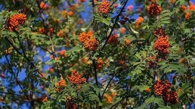 Serbales (Sorbus), árboles valorados por sus hojas y frutos ornamentales