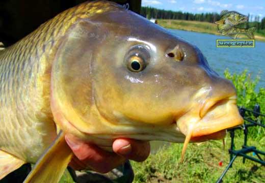 صيد سمكة المبروكة