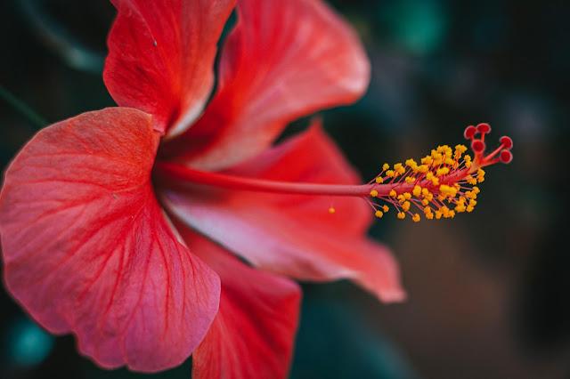 Hibiscus Wallpapers in 4K - Pics-Directory