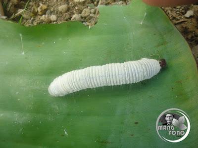 FOTO : Ulat daun pisang ukurannya gemuk dan kulitnya terbalut bedak putih ... hehehe
