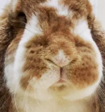 French Lop vs Holland Lop Personality, Temperament, Size, Lifespan, Price