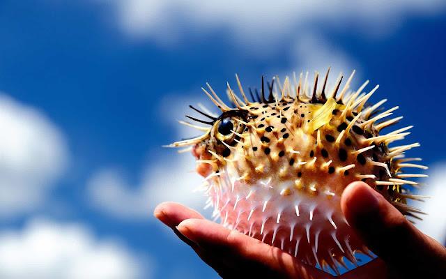 Peixe Bola, PufferFish, Fugu ou Peixe Bola