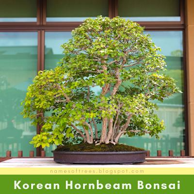 Korean Hornbeam Bonsai