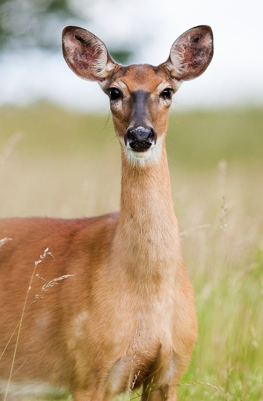 Picture of an attentive roe deer.