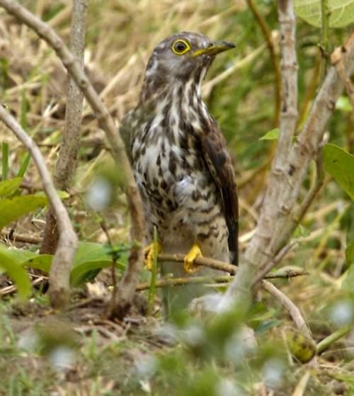 Birds of India -Large hawk-cuckoo - Hierococcyx sparverioides