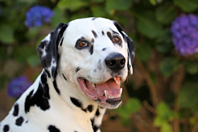 Smiling Dalmatian dog in front of hydrangea bushes