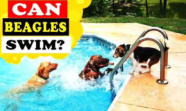 Can beagles swim? Do they like to go in the water?