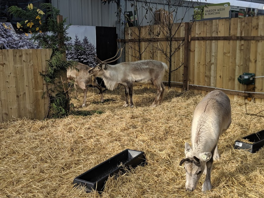 Reindeer Feeding at Azure Garden Centre