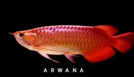 cara budidaya ikan arwana golden red