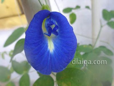 Bunga Telang (Clitoria ternatea)