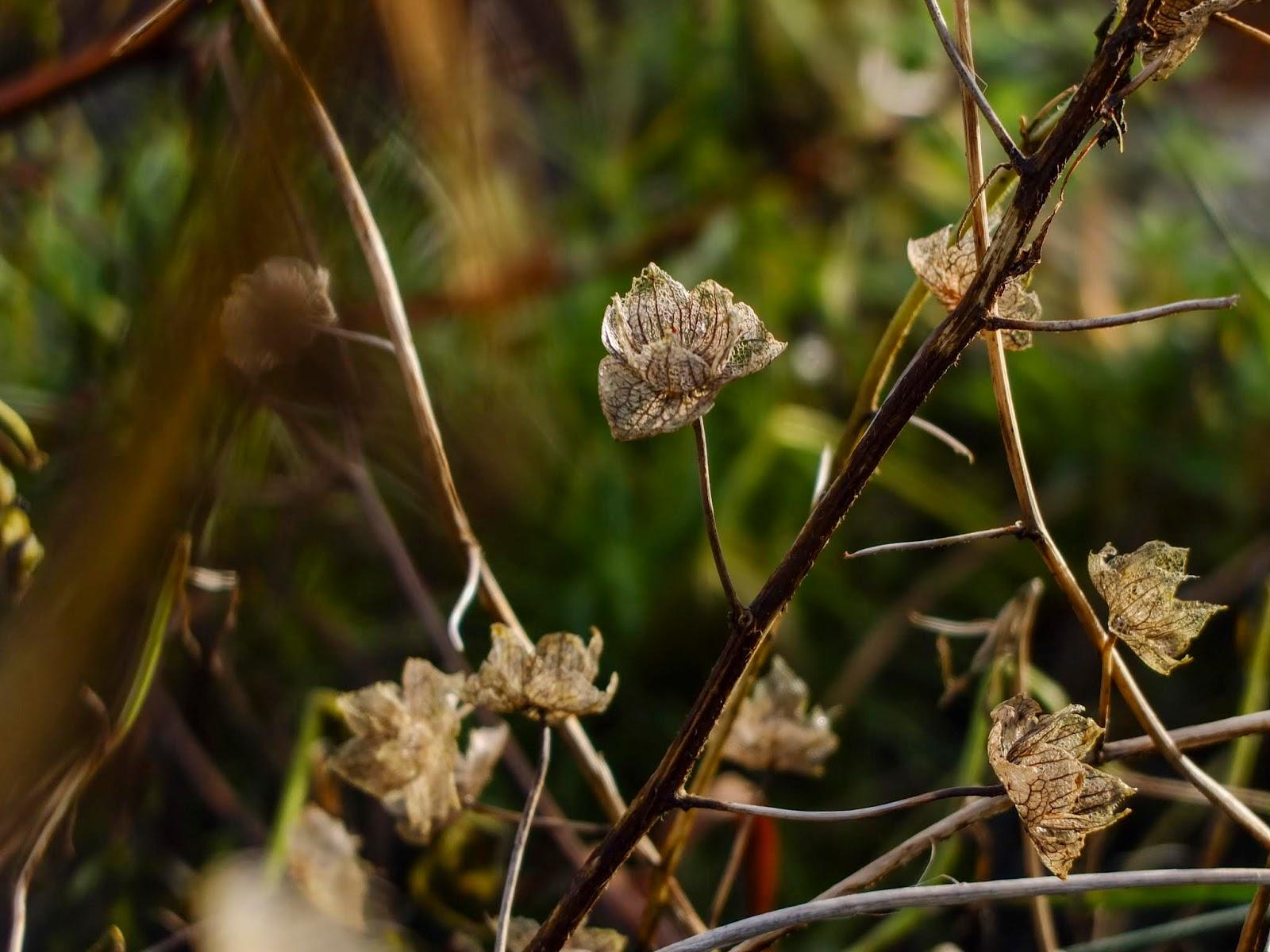 Tiny flower skeletons on a stem in the sunlight.