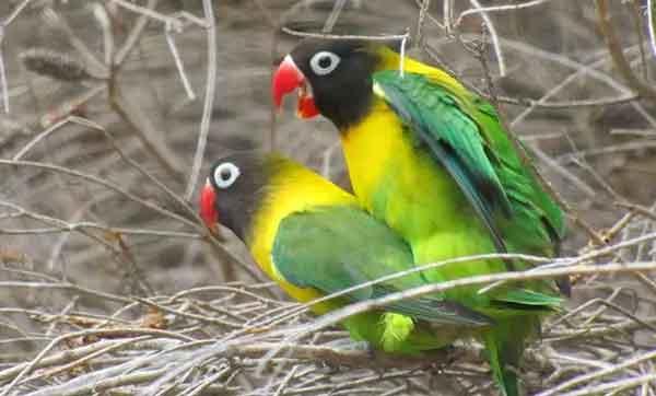 Panduan Cara Ternak Lovebird di Rumah bagi Pemula