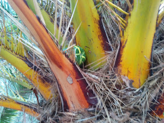 Green geocache container nestled in the fronds of a palm tree.