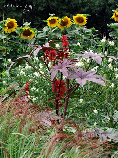 rącznik kasztanowiec w ogrodzie