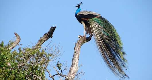 Indian peacock perched on a tree stub