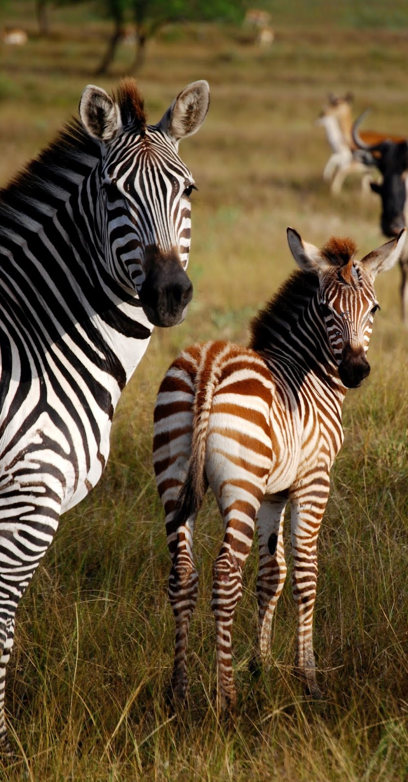 Zebra mother and child.