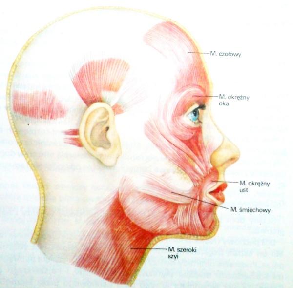 Sciaga Z Anatomii Miesnie Glowy I Szyi Czlowiek I Zdrowie