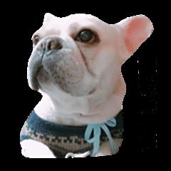 Daily Life of French Bulldog Mabo