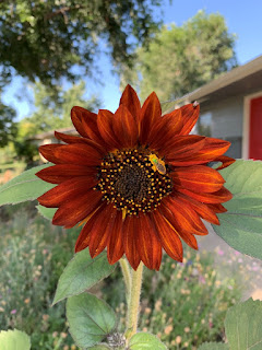 Orange red sunflower with pollen covered bee on it