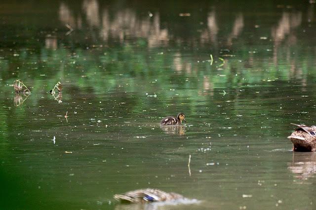 Eine Entenküken auf dem See