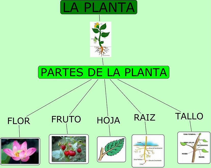 Conomatelengua guaditoca partes de la planta for Las partes de un arbol en ingles