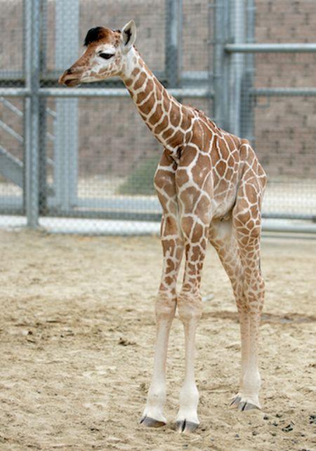 Muthu Rockzz Cute Baby Giraffes