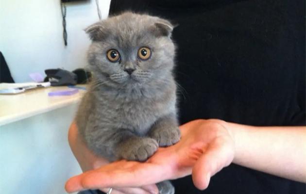 القط الأسكتلندي مطوي الأذن