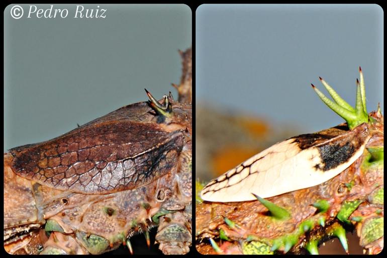 Detalle de las alas de una hembra y un macho de Haaniella grayii