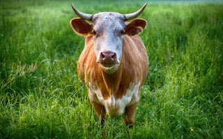 गाय की कुछ जानकारी ▷ some facts about cow in hindi
