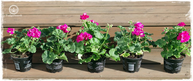 Gartenblog Topfgartenwelt Balkonblumen 2018: stehende Geranien Pelargonien