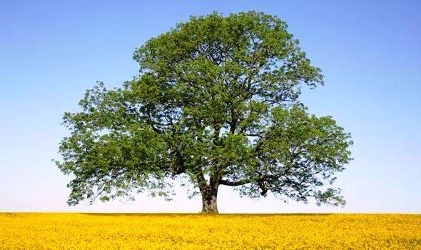 """Cây tần bì là cây gì, bài thơ """"Tôi hỏi cây tần bì"""" của Nga"""