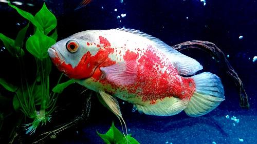 Oscar Fish Care Guide & Maintenance