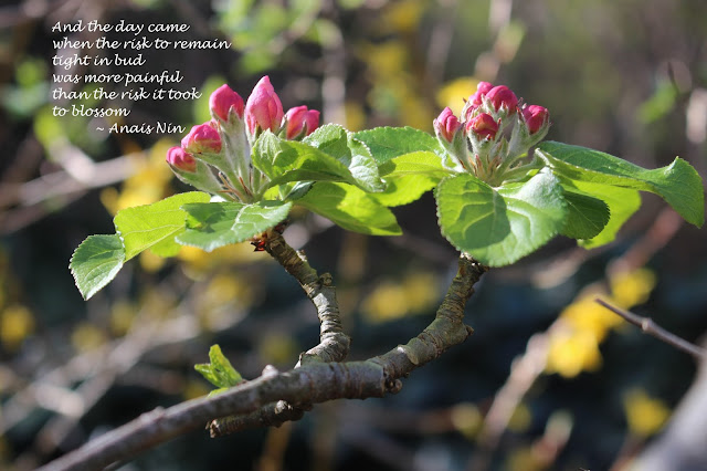 Bud breaking apple blossom in my garden with an Anais Nin quotation about bud break