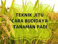 Teknik Jitu Budidaya Tanaman Padi