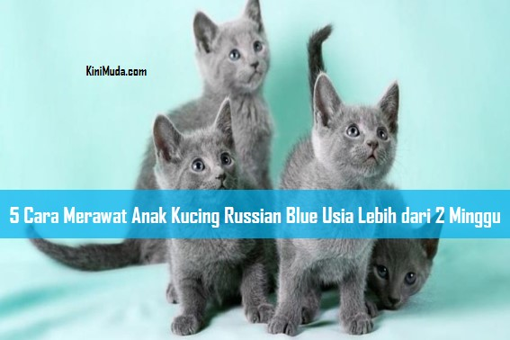 5 Cara Merawat Anak Kucing Russian Blue Usia Lebih dari 2 Minggu