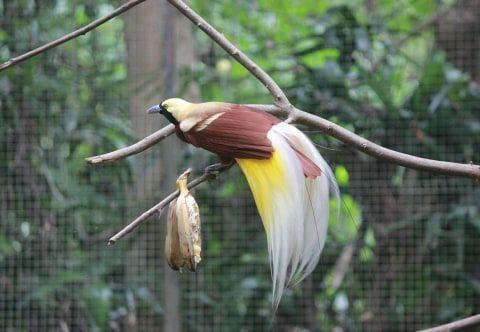 Contoh Gambar burung cendrawasih