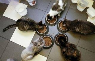 Makanan dan Minuman yang Paling baik untuk Kucing Kampung alias Kucing Domestik