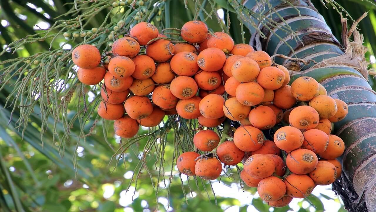 Manfaat dan bahaya buah pinang